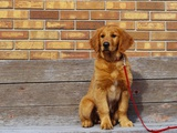 Golden Retriever Puppy on Leash Photographic Print by Chase Swift