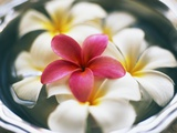 Frangipani Flowers in Bowl of Water Photographic Print by Thomas M. Barwick