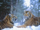 Siberian Tigers Resting in Snow Photographic Print by Jim Zuckerman