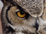 Eye of a Great Horned Owl Photographic Print by W. Perry Conway