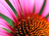 Petals and Stamens of Purple Coneflower Photographic Print by Paul Edmondson