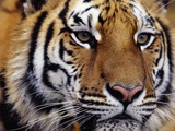 Face of Bengal Tiger Photographic Print by W. Perry Conway