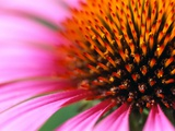 Close-up of Purple Coneflower Photographic Print by Paul Edmondson