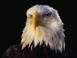 Head of Adult American Bald Eagle Photographic Print by W. Perry Conway