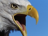 Bald Eagle Calling Photographic Print by W. Perry Conway