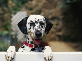 Dalmatian Looking over Fence Photographic Print by Chase Swift