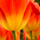 Tulip's Petals Photographic Print by George Lepp