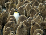 Adult King Penguin with Group of Juveniles Photographic Print by Darrell Gulin
