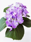Cluster of Purple Hydrangea Flowers Photographic Print by Michelle Garrett