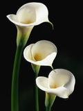 Darrell Gulin - Three White Calla Lilies - Fotografik Baskı