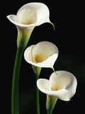 Three White Calla Lilies Photographic Print by Darrell Gulin