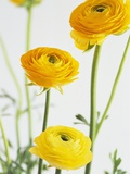 Yellow Ranunculus Photographic Print by Michelle Garrett