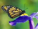 Mariposa monarca en un lirio holandés Lámina fotográfica por Gulin, Darrell