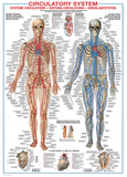 Circulatory System Plakater