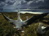 A Wandering Albatross Strikes a Courtship Pose Photographic Print by Frans Lanting