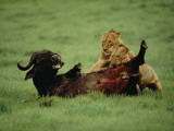 A Wounded Cape Buffalo Falls Prey to a Pair of Young Lions Photographic Print by Chris Johns