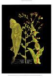 Weinmann-Botanik auf Schwarz VIII Poster von Johann Wilhelm Weinmann