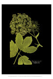Weinmann Botanical on Black IV Prints by Johann Wilhelm Weinmann