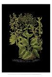 Weinmann-Botanik auf Schwarz V Poster von Johann Wilhelm Weinmann