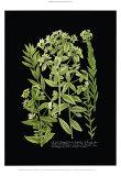Weinmann-Pflanzen auf Schwarz VI Kunst von Johann Wilhelm Weinmann