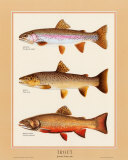 Trout Prints by Joseph Tomelleri