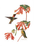 Ruby-Throated Hummer Posters by Patricia Savage