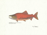 Sockeye Fish Print by Ron Pittard