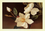 Magnolie auf Schwarz Kunstdrucke von Phyllis Hilburn
