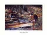 Whitetailed Deer Affiches par Bernie Jensen