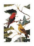 Scarlet Tanager Prints by Patricia Savage