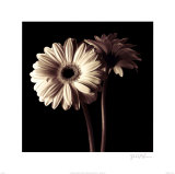 Gerber Daisies I Posters by Michael Harrison