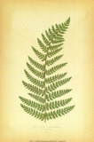 Fern V Prints by Edward Lowe