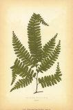 Fern II Print by Edward Lowe