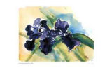 Dark Wax Iris Collectable Print by Lynn Donoghue
