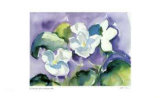White Violet Collectable Print by Lynn Donoghue