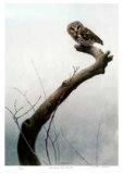 Wet Spring - Saw Whet Owl Limited Edition by Michael Dumas