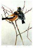 April Willow - Evening Grosbeak Collectable Print by Michael Dumas