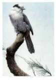 Pine Woods - Gray Jay Reproduction pour collectionneur par Michael Dumas