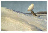 White Owl Collectable Print by Claudio D'Angelo