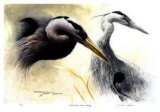 Great Blue Heron Study Collectable Print by Michael Dumas