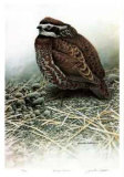 Bobwhite Limited Edition Print