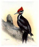 Pileated Woodpecker Collectable Print by James Fenwick Lansdowne