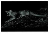 Mountain Lion Limited Edition by Robert Pow