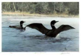 Yodeling - Common Loon Limited Edition by Carl Arlen
