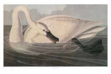 Trumpeter Swan Collectable Print by M. Bernard Loates