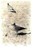 Gulls Limited Edition by Carl Arlen