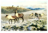 Caribou Limited Edition by Claudio D'Angelo