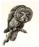 Great Grey Owl Limited Edition by James Fenwick Lansdowne