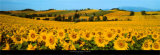 Sunflowers Field - Umbria Print by Philip Enticknap