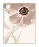Anemone Radiance Posters by Donna Geissler